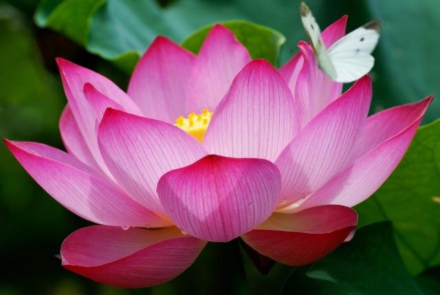egyptian lotus flower.jpg